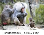 baboon family with the female... | Shutterstock . vector #645171454