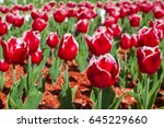 beautiful red tulips  colorful... | Shutterstock . vector #645229660