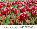 tulip. beautiful bouquet of... | Shutterstock . vector #645229660