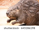 Small photo of American Beaver / Castor canadensis