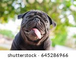 funny face of pug dog with... | Shutterstock . vector #645286966