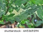 Small photo of Gynura pseudochaina(L.) DC., Tree, ornamental plantsvand herbs with medicinal properties Thailand