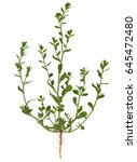 Small photo of Knotgrass, Polygonum aviculare, the entire plant, with root, leaves and flowers