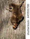 Small photo of Common Raccoon carefully climbing down a tree. Rosetta McClain Gardens, Toronto, Ontario, Canada.