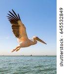 Alone Great White Pelican...