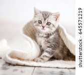 Stock photo curious gray kitten little cat at home small pet 645571219