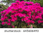 big pink azalea bush in the... | Shutterstock . vector #645606493