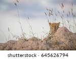 leopard laying on a termite... | Shutterstock . vector #645626794