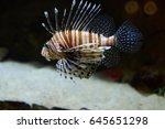 exotic lion fish swimming in... | Shutterstock . vector #645651298