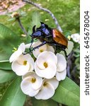 close up big rhinoceros beetle... | Shutterstock . vector #645678004