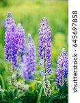 blooming lupine flowers ... | Shutterstock . vector #645697858