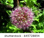 Allium Mars  Head Of Purple...