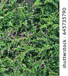 Small photo of Beautiful garden of cover plant with small purple flower (Cuphea hyssopifolia)