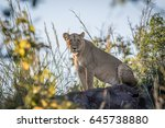 Lioness Sitting On A Rock In...