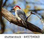 Red Bellied Woodpecker On Limb
