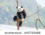 panda at china | Shutterstock . vector #645765688