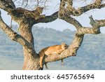 Lions Sleeping On The Tree