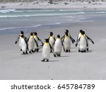 Small photo of King Penguin Group, Aptenodytes patagonica, on the white sandy beach of Volunteer Point, Falklands / Malvinas