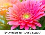 selective focus of pink gerbera ...   Shutterstock . vector #645856000