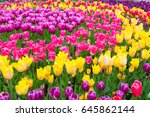 Field Of Colorful Tulips  Rich...