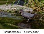 Small photo of American Dipper 5462