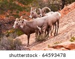 Heard Of Desert Big Horn Sheep in Utah?s Zion National Park - stock photo