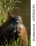 Small photo of Portrait of the coypu - a large rodent species from America, which is alien in Europe. A mammal inhabiting water and surroundings on a vertical picture.