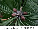 pine tree and pine nuts | Shutterstock . vector #646015414