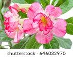 close up tree adenium on black... | Shutterstock . vector #646032970