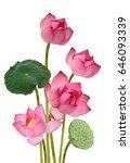 beautiful pink lotus flower...   Shutterstock . vector #646093339