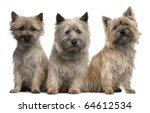 Cairn Terriers  12 And 2 Years...
