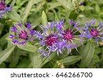 purple flower. slovakia