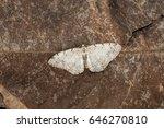 Small photo of Aethalura punctulata, the grey birch