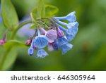 virginia bluebells  in family... | Shutterstock . vector #646305964
