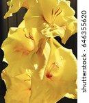 Yellow Blooming Gladiolus...