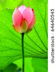 A Red Lotus Flower Bud Against...