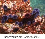 Purple and red sea urchins eat a piece of kelp.