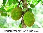 Jackfruit Tree And Young...