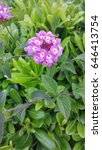 Small photo of Pink and yellow Lantana camara flowers. It is a small perennial shrub with smalls tubular shaped flowers which each have four petals. Type: Angiosperms. Eudicots. Asterids Lamiales. Verbenaceae