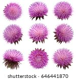 Milk Thistle Flower  Silybum...
