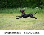 Stock photo funny black dog running and jumping and his tongue is out labrador retriever 646479256
