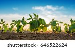 Small soybean plants growing in ...