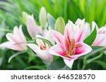 beautiful lily flower on green... | Shutterstock . vector #646528570