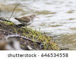 Small photo of spotted sandpiper (Actitis macularius syn. Actitis macularia)