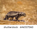 honey badger in kruger national ... | Shutterstock . vector #646537060