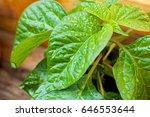 Scotch Bonnet Plant