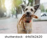 Stock photo a funny dog with sad eyes is holding a leash in his mouth and waiting in the street for his master 646562620