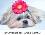 Shih Tzu Dog Lying With Flower...