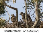 Young Hawks In The Nest