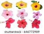 hibiscus flower isolated  die... | Shutterstock . vector #646772989